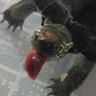 クサガメの画像 p1_32